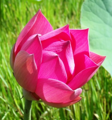 Lotus lily flower bud.
