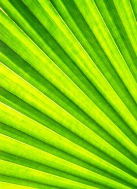 Licuala cordtata leaf