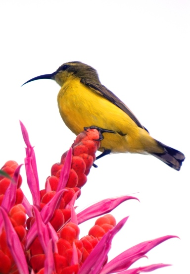Yellow-bellied sunbird.