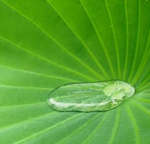 Rain water collected inside a lotus lily leaf.