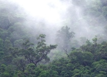Emergent trees, mist and sunlight, Mt .Whitfield rain forest, Australia.
