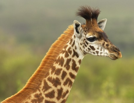 Maasai giraffe. Photo: Graeme Guy.