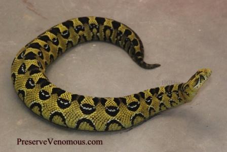 Ethiopian Mountain Adder Bitis parviocula. Photo: HGHjim, Snakebuddies.net.