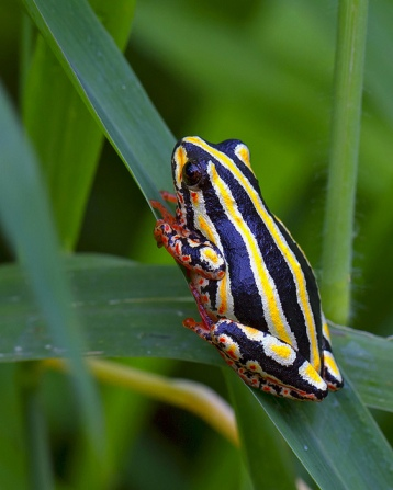 Painted Reed Frog. Africa.