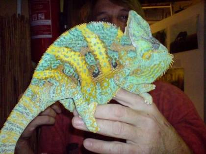 Veiled chameleon. Photo: bioreptilen.com