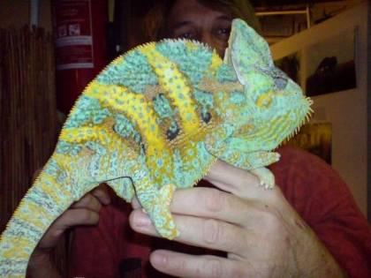 Veiled chameleon. Photo: bioreptilen.com