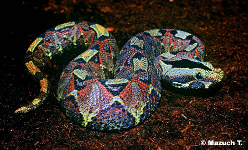 Rhinoceros Viper Bitis nasicornis. Photo: Mazuch T. Serpentes.eu.