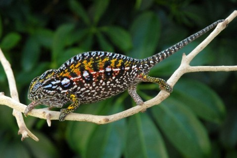 Carpet chameleon. Photo: flchams.com.