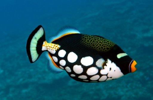 Clown triggerfish. Photo: inthetank.com.