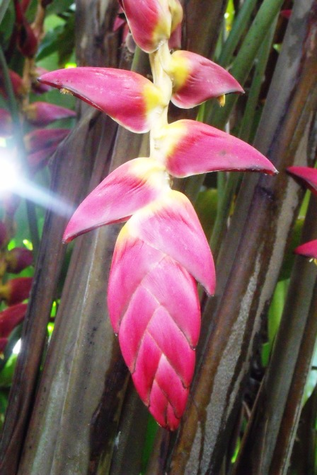 Heliconia cv.