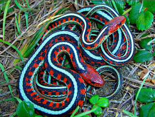 Garter snakes. Photo: biologicalexceptions.blogspot.com.