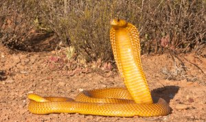 Golden yellow form of the Cape cobra Naja nivea. Photo: