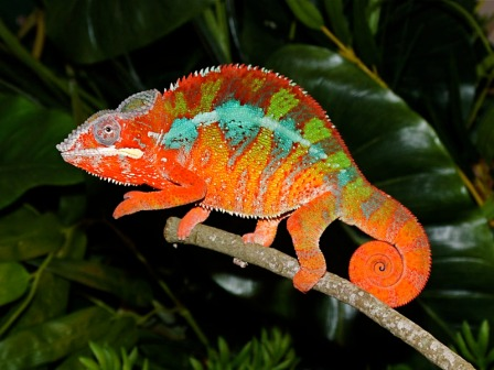 Panther chameleon. Photo: flchams.com.