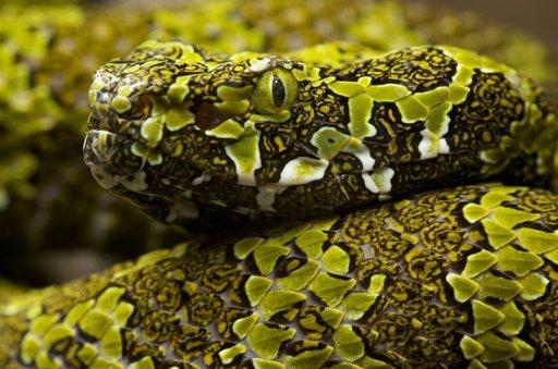 Mangshan Pit Viper. Photo: Protobothrops mangshanensis. Photo: Snakebuddies.net.
