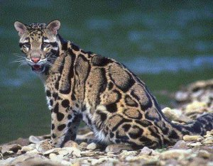 Clouded leopard. Photo: terrambiente.org.