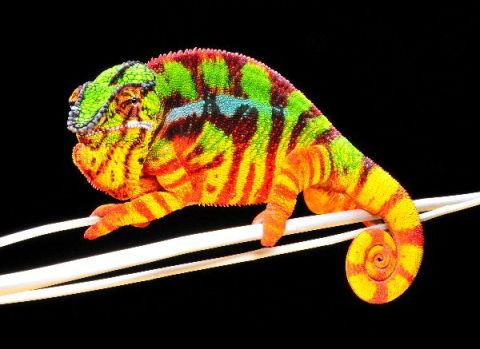 Panther chameleon. Photo: bioexpedition.com.
