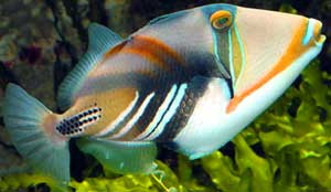 Picasso Triggerfish. Photo: able2know.org.