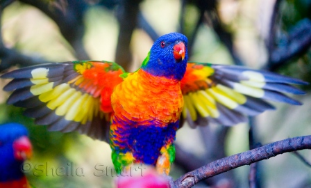 Rainbow Lorikeet. Photo: Sheila Smart.