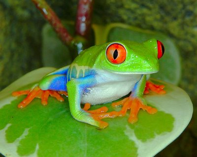 Red-eyed treefrog from Centarl America.