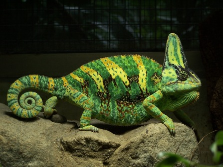 Veiled chameleon. photo: en.wikipedia.org.