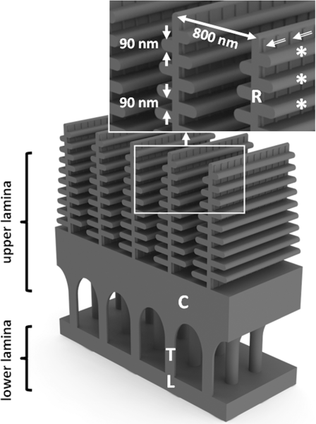 Structure of wingscales. Source: nanophotonics.spiedigitallibrary.org.