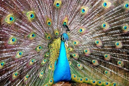Male Peacock. Photo: wikipedia.org.