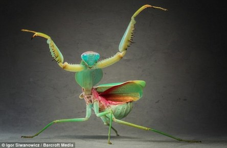 Giant malysian Shield praing mantis. Photo:Igor Siwanowicz, dailymail.co.uk.