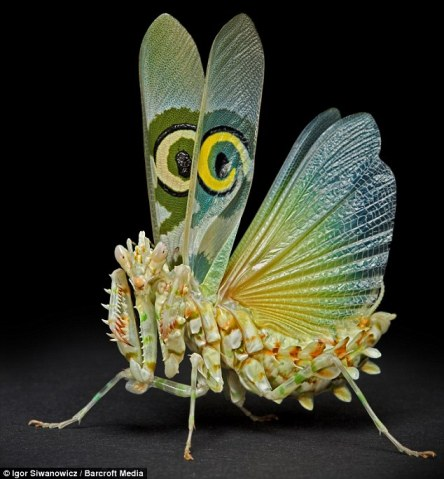 Spiny Flower mantis. Photo: Igor Siwanowics, dailymail.co.uk.