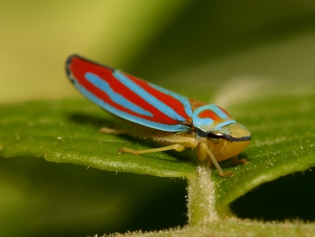Leafhopper. Photo: Richard-Seaman.com.