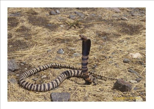 Western Barred Spitting Cobra.