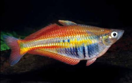 Rainbow fish Chilatherina alleni. Photo: G. R. Allen.