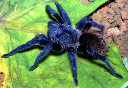Sanzima's Tarantula. Photo: Rogerio Bertani.