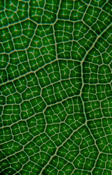 Fiddle-leaf fig leaf veins, Ficus lyrata. Phot: david Clode.