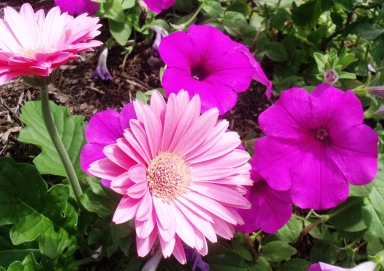 Pink gerbera and petunias.