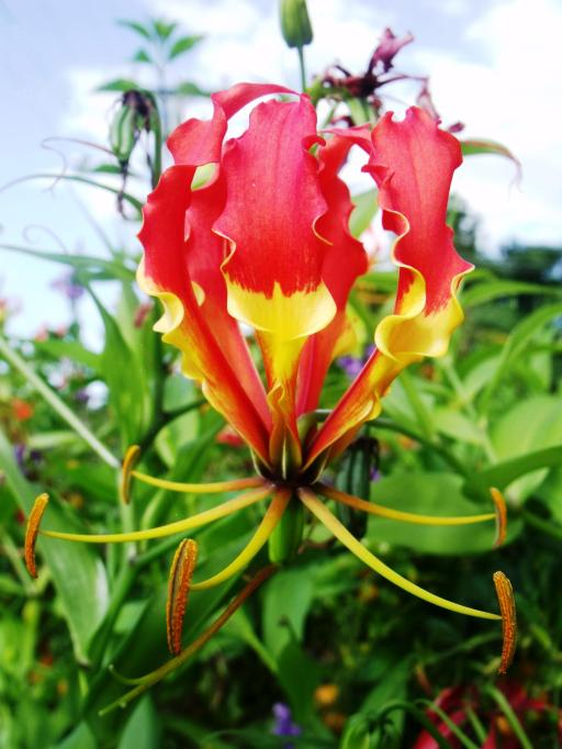 Gloriosa lily. Photo david Clode.