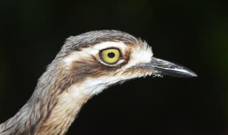 Curlew portrait profile.