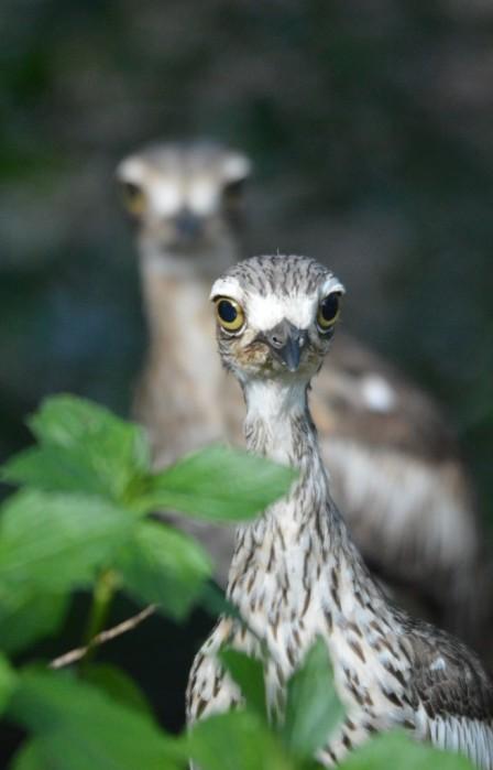 A pair of curlews.