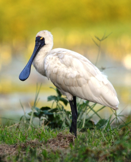 Royal Spoonbill. Freshwater Lake, Cairns, Australia.