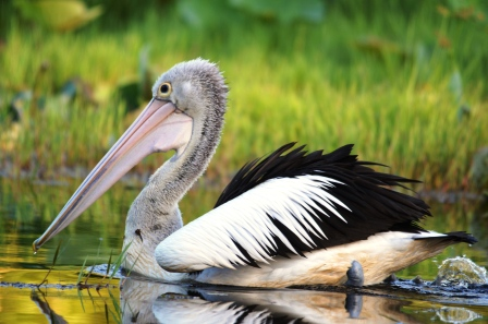 """On a mission"". Australasian Pelican, freshwater lake, centenary Lakes, Cairns, Australia."