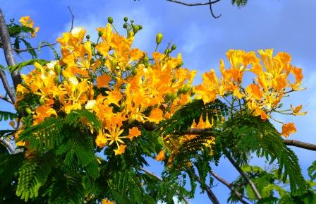 Yellow Poinciana Delonix regia.