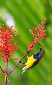 A male Yellow-bellied sunbird. visiting Odontonema strictum for nectar.