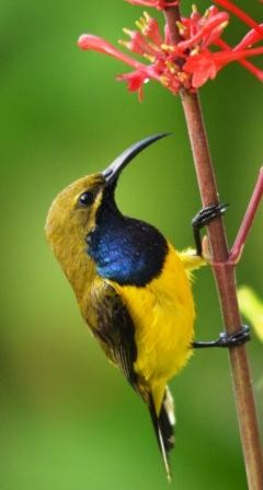 A male Yellow-bellied sunbird.