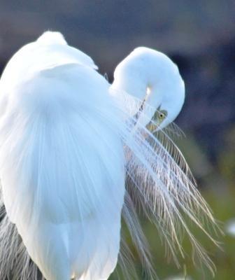 An egret preens itself. Centenary lakes, Cairns.