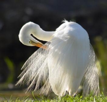 A preening egret. Freshwater lake, Cairns, Australia.