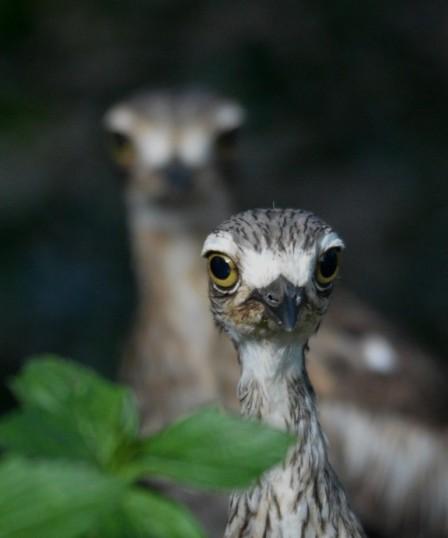 Inquisitive curlews.
