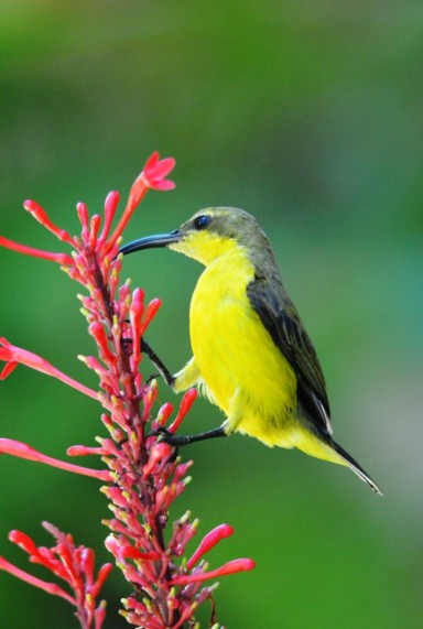 Female Olive-backed sunbird, Cairns.