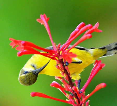 A female sunbird visits Odontonema strictum for nectar.