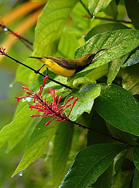 A male sunbird takes a bath.