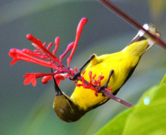 Female Olive-backed sunbird (or Yellow-bellied sunbird). The bird is upside down, not the photo.