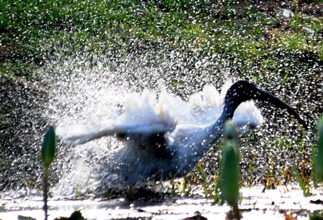 An Australian white ibis enjoys a shower of its own making.